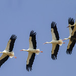 White Storks in migration