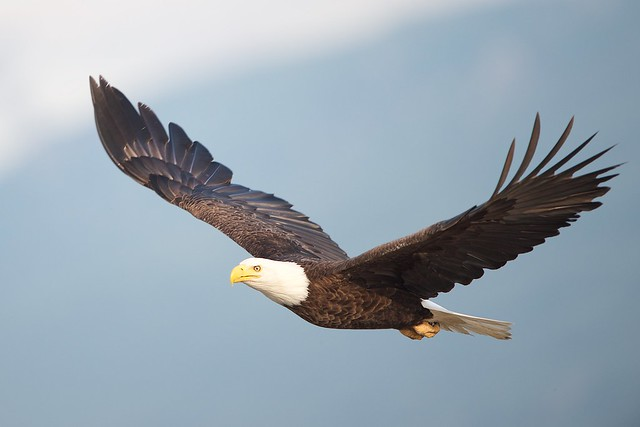 Eagle Fly By