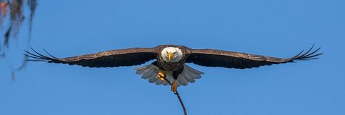 outdoor seaside dennis adair sky nature wildlife 7dm2 7d ii ef100400mm ocean canon florida bird flight bif eagle
