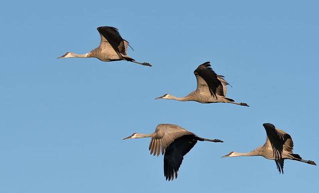 Quad of Sandhill Cranes in flight