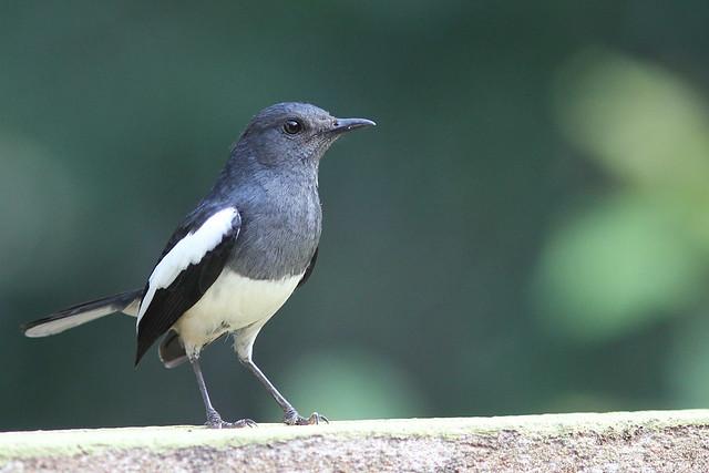 Oriental Magpie-Robin (F)