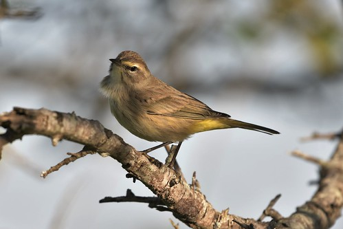 nature beauty natural warbler ericaray ornithology birding birder bird naturallight palmwarbler ericaraywarbler