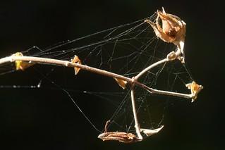 Fine spider webbing on Climbing Penstemon