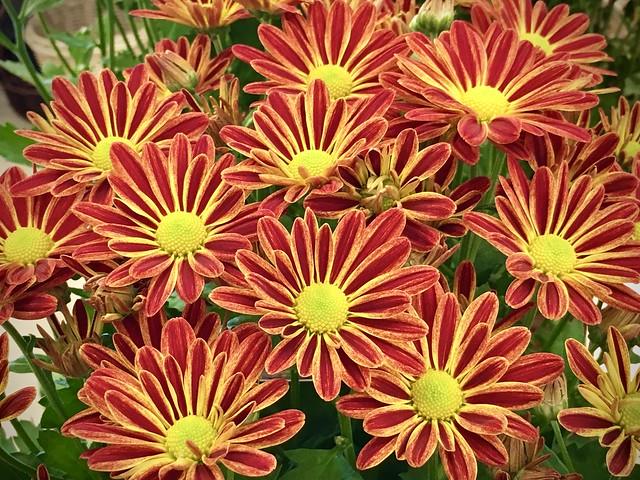 Autumn Chrysanthemums