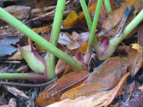 Helleborus x hybridus 'Sandy Shores'
