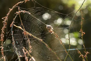 Web of a Labyrinth Spider (Metepeira, Araneidae)