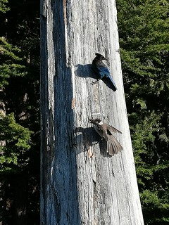 St. Mark's Hike: Blue stellar jay and grey jay are ready to pick up your snacks