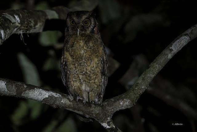 Tawny-bellied Screech-Owl / Petit-duc de Watson