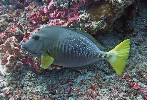 Surgeonfish, Unusual One 4