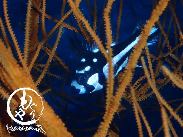 おもろい模様。ホホスジタルミ幼魚