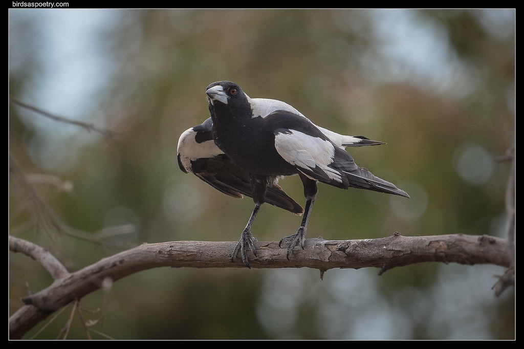 Australian Magpie: Cooling Off