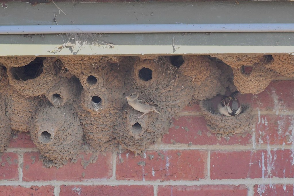 House Sparrows ( dream home )