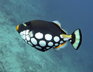 Clown Triggerfish 20