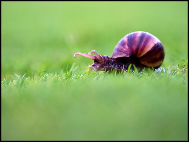 Snail - Hawaii