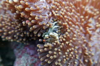 Crab, inside the Anemone Coral 1