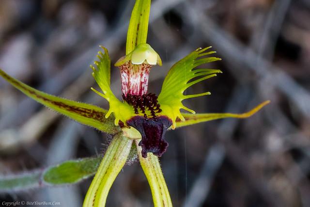 Forest Mantis Orchid (Caladenia attingens subsp. attingens)