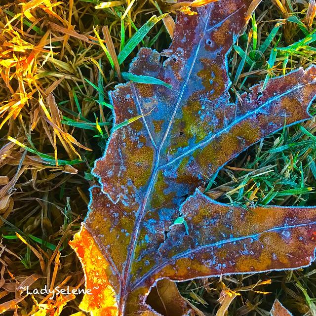 frozen morning leaves, crisp & pretty