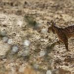 Iberian Lynx Platero juv male