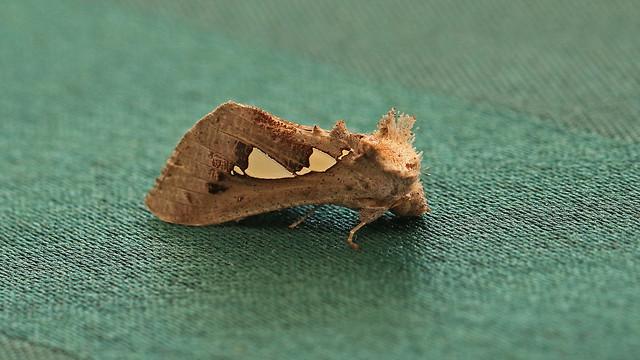 Moth from Ghana. Appreciate help with id.