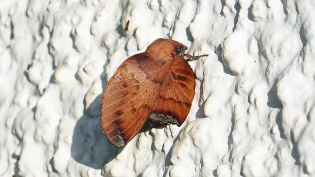 Lappet moth   Lasiocampidae