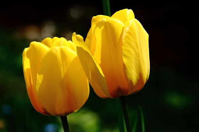 Tulipe IMG_1876