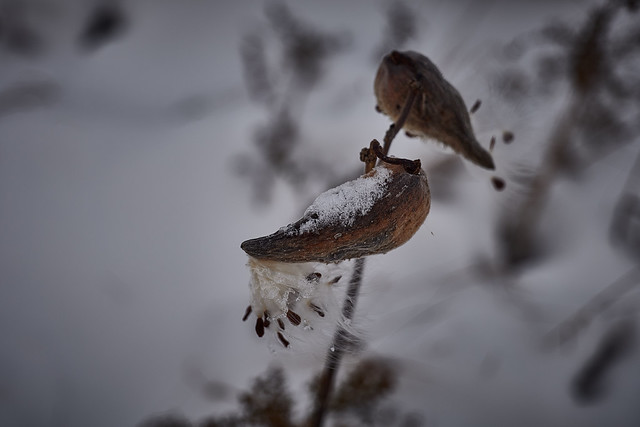 milkweed, in snow, ice, wind and freezing temperatures, 11-11-19 8