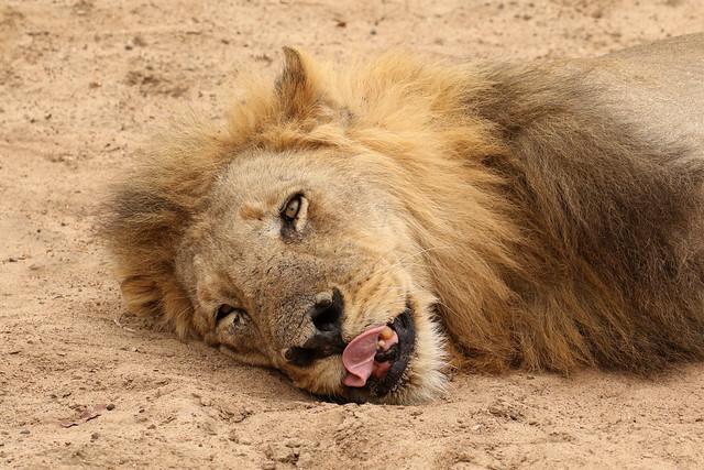 African Lion ♂ Panthera leo