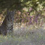 Iberian Lynx Platero