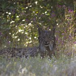 Iberian Lynx Kilo adult male