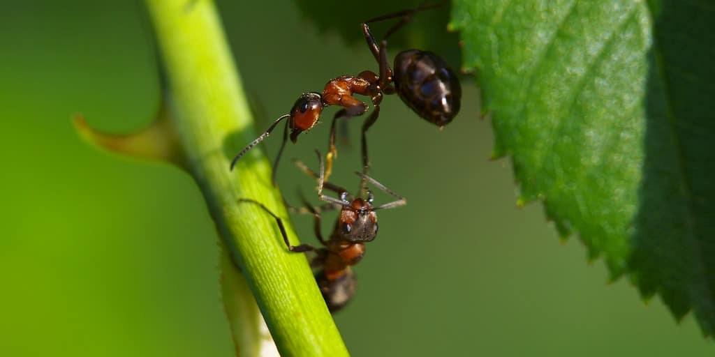 des-fourmis-cannibales-radiation
