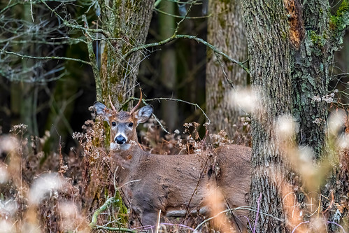 A young Whitetail buck tries to blend into the brush.. Lakewood Forest preserve, northern Illinois.