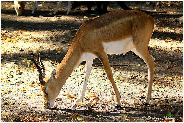 jeune mâle ©antilope cervicapre