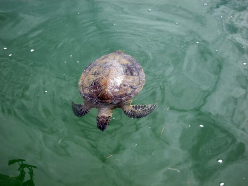 Photo of sea turtle that is cold-stunned in the water