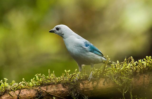 0P7A0609  Blue-gray Tanager, Ecuador