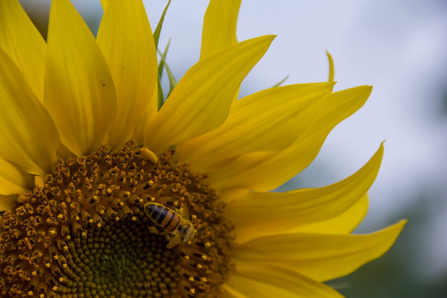 Bee on sunflower.