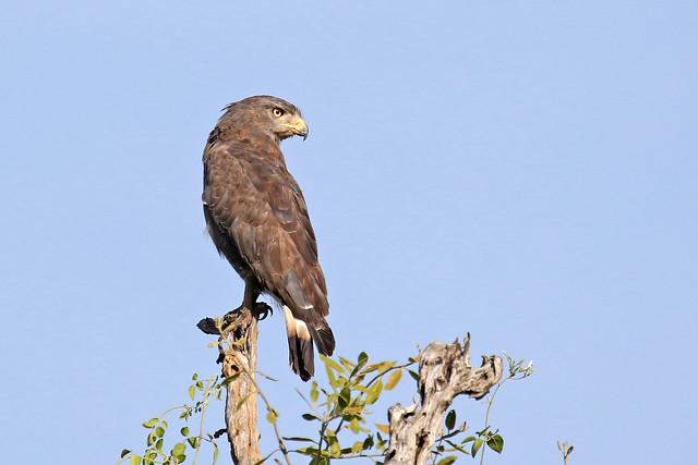 Western Banded Snake Eagle - Circaetus cinerascens
