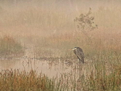 Great Blue Heron in fog 20191120