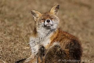 Renard - Vulpes vulpes - Red Fox
