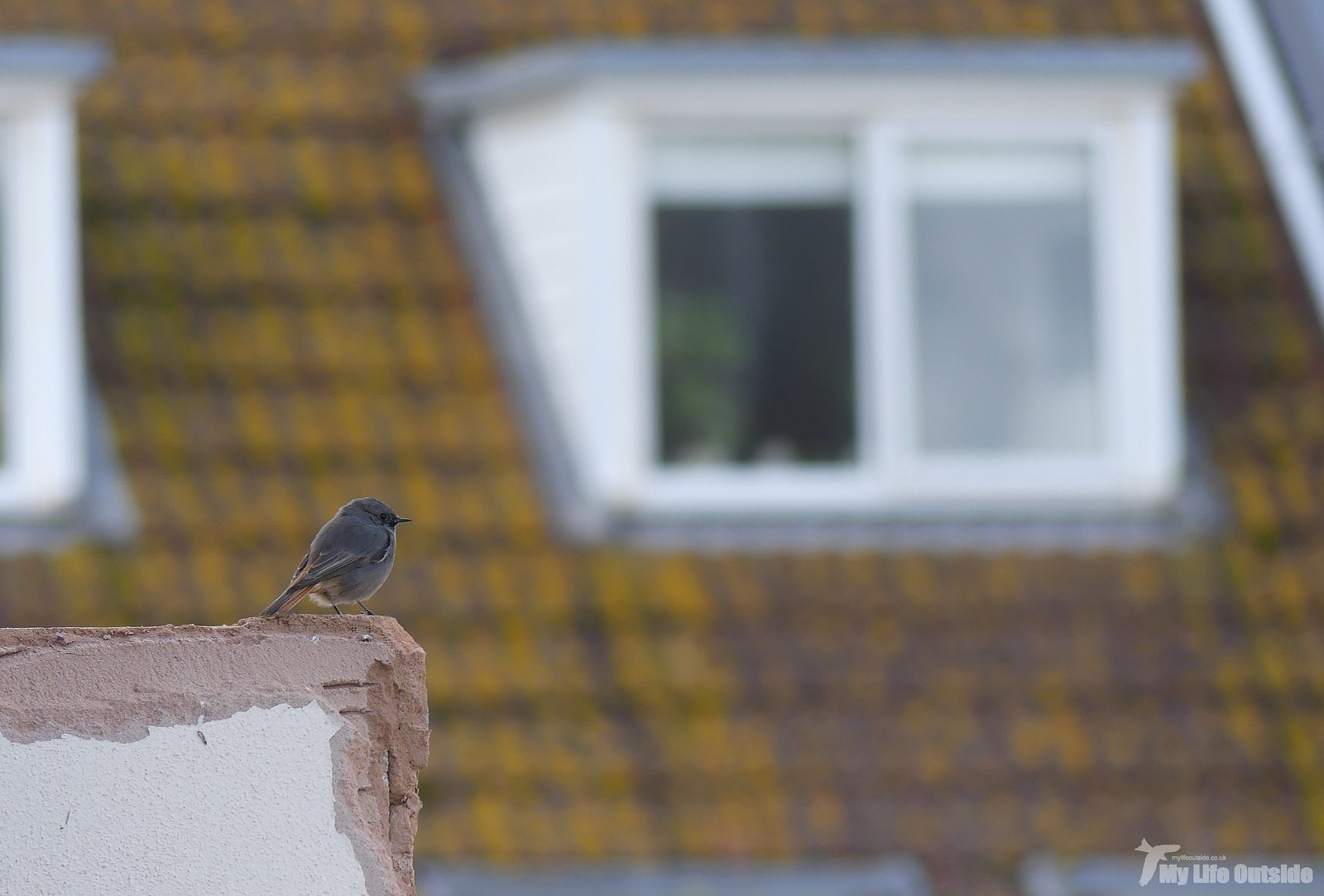 P1220400 - Black Redstart, Seaton