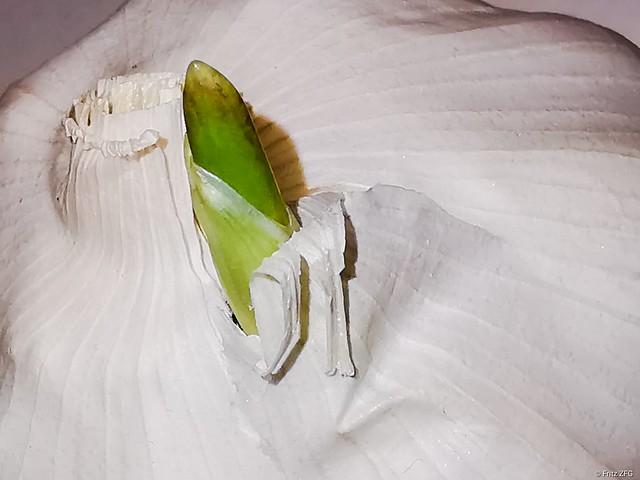 Garlic Rung