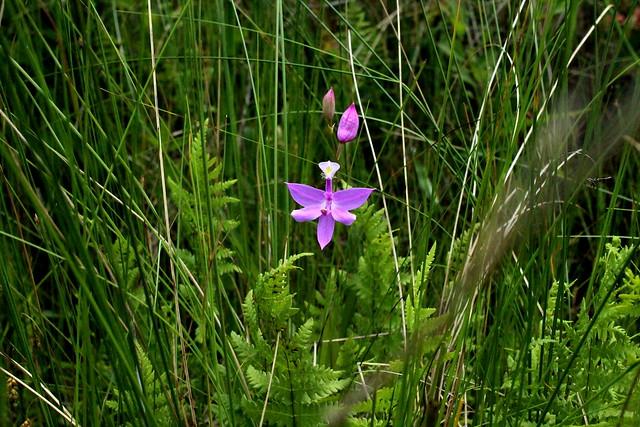 Calopogon tuberosus  Grasröte Tuberous Grass Pink