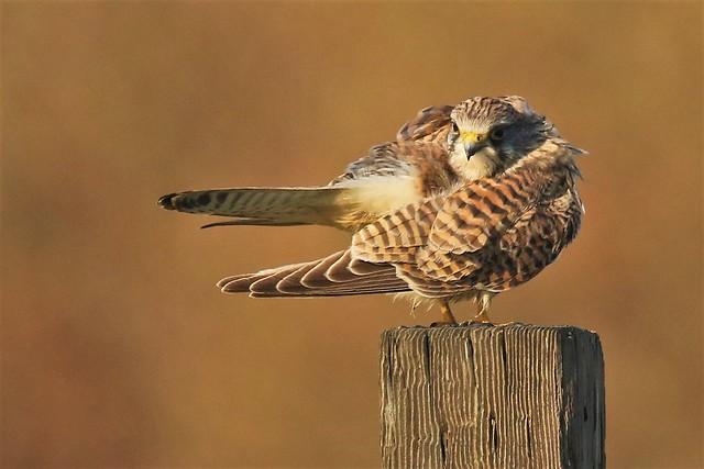 Sunlit Kestrel (Falco tinnunculus) Dungeness RSPB