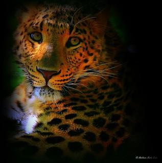 The wonderful eyes of Indochinese Leopard (Panthera pardus delacouri), indokínai leopárd szemei - Κινεζική λεοπάρδαλη
