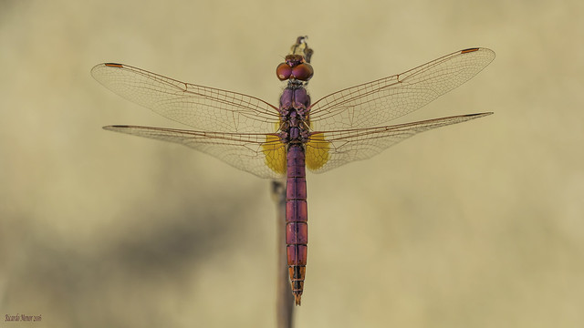Trithemis annulata. Adult male