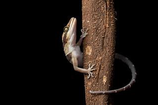 Banded Bent toad gecko (cyrtodactylus pulchellus)