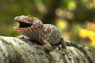 Tokeh Gecko, Thailand