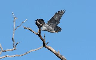 _BOB3196 Peregrine falcon