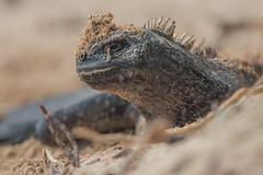 Sandy Iguana