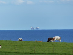 Cows and offshore energy
