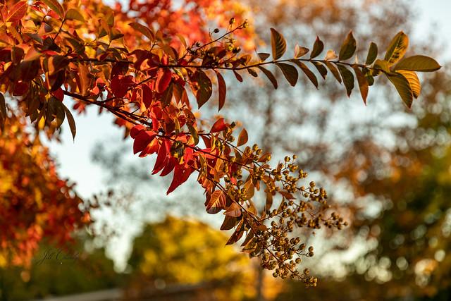 Autumn Color in My Neighborhood